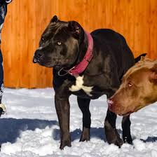 american pitbull terrier kennels usa blue nose pitbull puppies for sale blue pitbull red pitbulls
