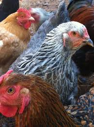 best backyard chicken which chickens are best for your back yard