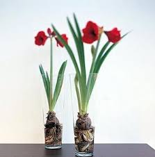 home garden what s the secret to sprouting amaryllis bulbs