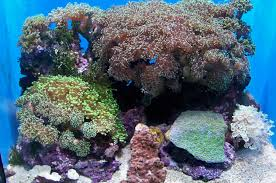 file cas aquarium coral jpg wikimedia commons