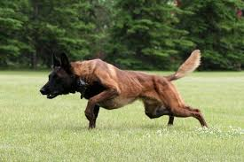 belgian malinois herding which dog breeds are capable of surviving in 2016 quora