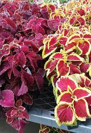 perfect companion plants for hostas shade perennials garden