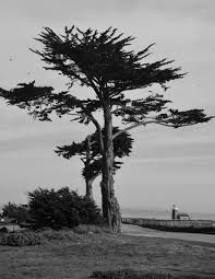 cypress tree with light house in the distant just images