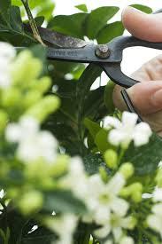 Most Fragrant Jasmine Plant - alan titchmarsh on growing jasmine in your garden garden life