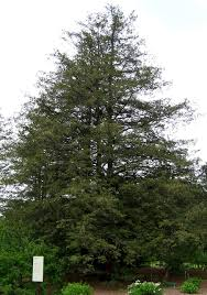 how to grow false cypress growing and caring for false cypress