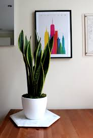 houseplant of the month sansevieria