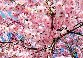 the best to visit for cherry blossoms the invisible tourist