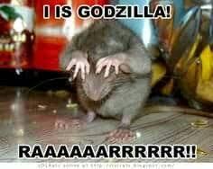 Rat Meme - pin by mara quinones on memes pinterest memes and humor