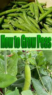 how to grow peas quiet corner