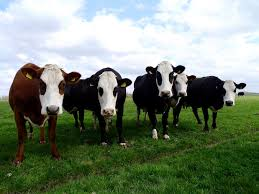 dutch rare cattle breeds threatened by phosphate laws slow food