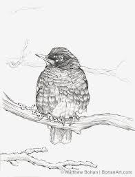 cold american robin pencil sketch p45 bohan art