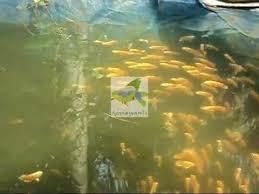 aqua pets ornamental fish farm in kottat chalakudy