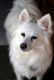 american eskimo dog gestation period 20 of the most magnificent paws on earth puppys snow and drinks
