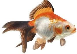 pesci alimentazione mangime per pesci e pesce d acqua fredda animal house italia