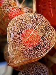 lantern flower faq growing lantern plants physalis alkekengi