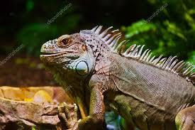 big iguana lizard in terrarium u2014 stock photo violin 54017395