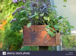 Hanging Herb Planters Hanging Wooden Herb Planter Containing Banana Mint Purple Sage