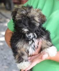 bichon frise shih tzu mix for sale puppies for sale lancaster puppies