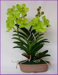 buy an orchid vanda orchid plants buy orchids plants product on alibaba