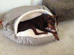 dog nesting bed dylan got the perfect new dober bed doberman chat forum