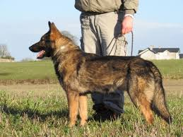belgian sheepdog for sale uk dogs for sale