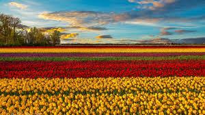 Flower Gardens Wallpapers - flowers tulips field sunset spring flower garden wallpapers