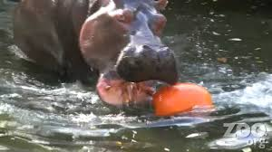 hippos destroy halloween pumpkins at woodland park zoo in hd youtube