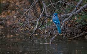 blue jay archives birds calgary