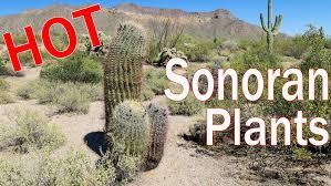 native arizona plants sonoran desert plants cactus trees shrubs of arizona youtube