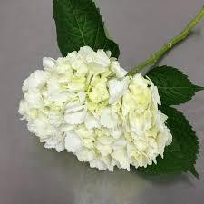 hydrangea white hydrangea white and colors flower market