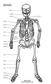 skeletal system worksheet pdf fts e info