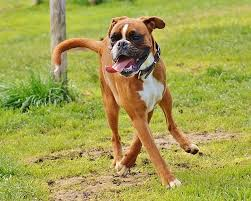 boxer free photo boxer dogs dogs good aiderbichl free image on