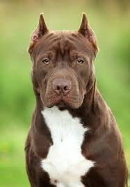 american pitbull terrier 1 a pit bull muscle gaining 101 how to bulk up a pit bull healthfully