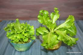 how to regrow romaine lettuce from the stem gettystewart com