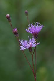 native plant nursery florida native florida wildflowers blodgett u0027s ironweed vernonia blodgettii