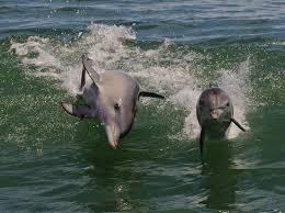 port river dolphins adelaide australia wdc