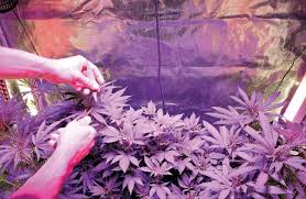 can you grow pot in your d c apartment it depends on who you ask