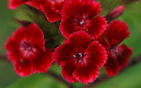 Sweet William Flowers Sweet Wallpapers Wallpapers Browse