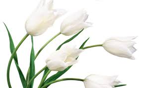 White Flowers Pictures - white flower hd wallpapers backgrounds