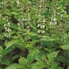 basil seeds 9 best sweet basils for your garden