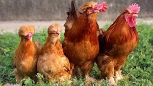 chickens npr