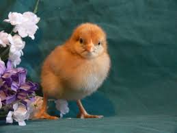 which chicken breed is best a guide for beginner chicken keepers
