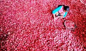 vashi market traders urge govt to slash onion mep to 300 tonne rediff com business