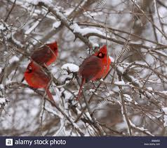 male cardinal snowy tree red bird winter snow cold flock ohio