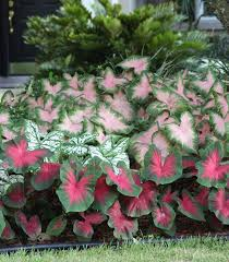 best 25 caladium garden ideas on pinterest container flowers