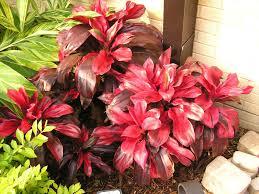 ti plant ti plants set any tbo