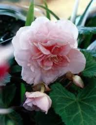 begonia flower tuberous begonia a profile of an annual flower howstuffworks