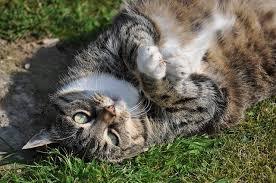 alimentazione casalinga gatto alimentazione casalinga per il gatto sterilizzato dogalize