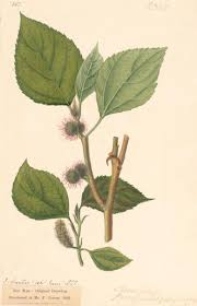 broussonetia papyrifera l l u0027hér ex vent plants of the world