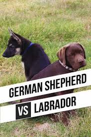 accounting resume exles australian kelpie lab 374 best labrador puppies images on pinterest labrador